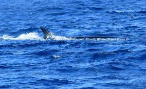 Sei Whale, Noordse vinvis (Balaenoptera borealis)