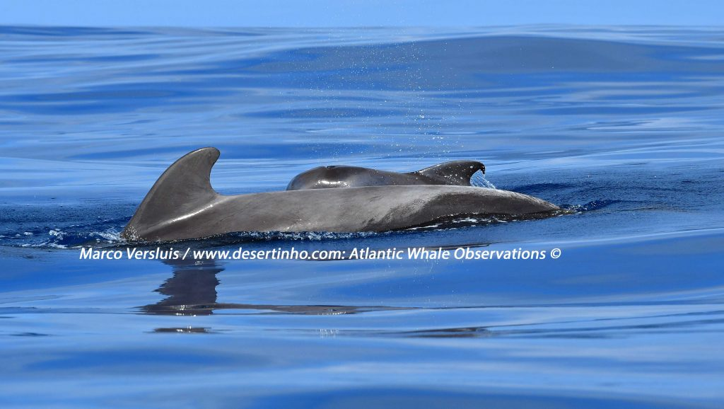 Desertinho Atlantic whale observations: Short finned pilot whales