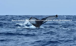 Desertinho Atlantic Whale observations: Humpback whale