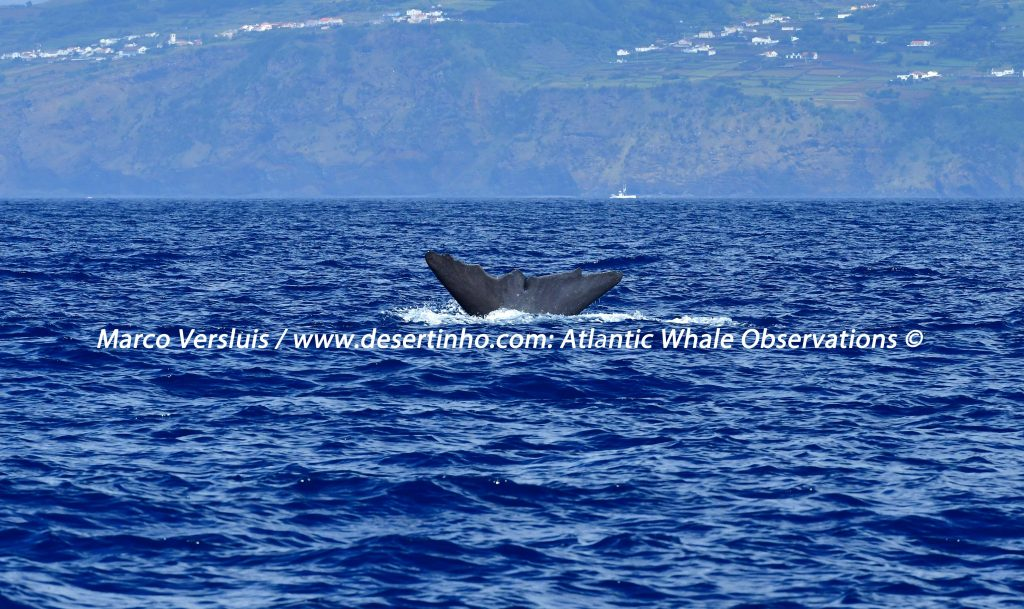 Desertinho Atlantic Whale observations: Sperm whale fluking