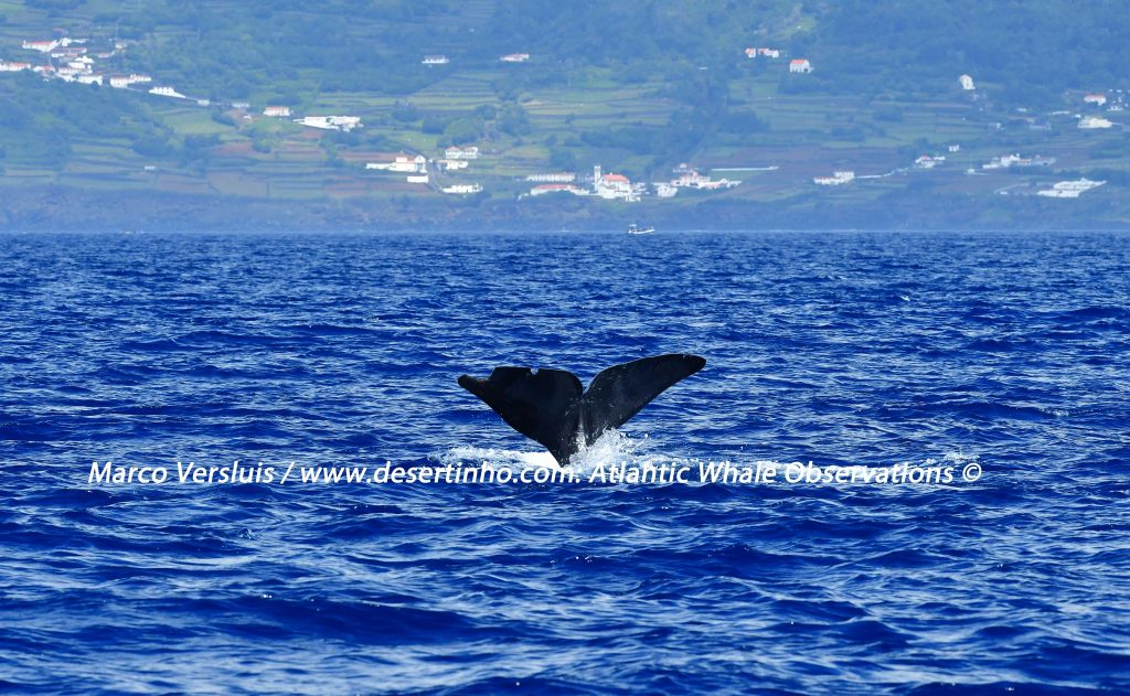Desertinho Atlantic whale observations:Sperm whale Photo-ID
