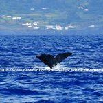 Desertinho Atlantic Whale observations: Sperm whale Fluking