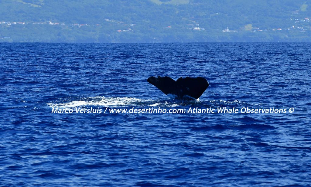 Desertinho Atlantic Whale observations: Sperm whale Photo-ID