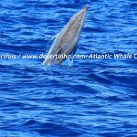 Desertinho Atlantic Whale observations: Bottlenose dolphin