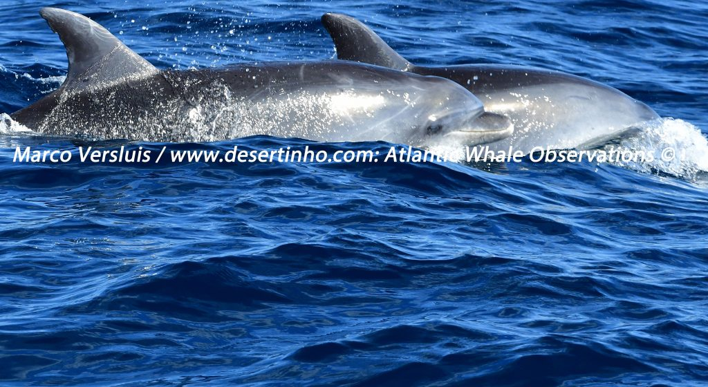 Desertinho Atlantic Whale observations: Atlantic bottlenose dolphins