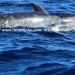 Desertinho Atlantic Whale observations: Atlantic bottlenose dolphin