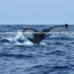 Desertinho Atlantic Whale observations: Humpback whale Photo-ID