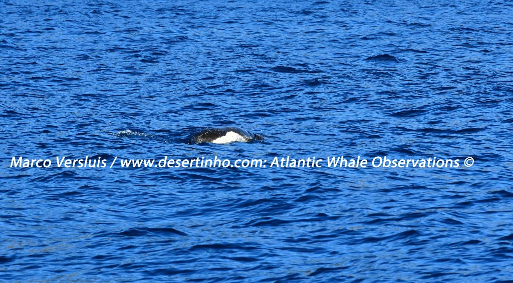 Desertinho Atlantic whale observations: Mediterenean monk seal