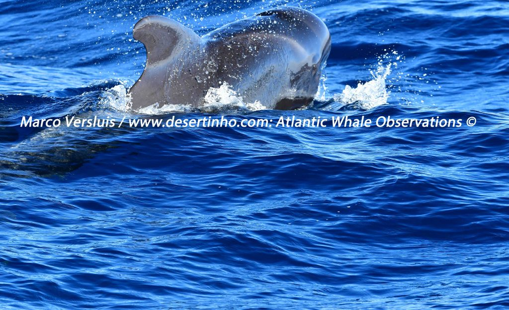 Desertinho Atlantic Whale observations: Atlantic Short finned Pilot whale