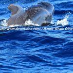 Desertinho Atlantic Whale observations: Short finned Pilot whale