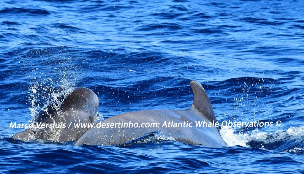 Desertinho Atlantic whale observations: Short finned Pilot whales