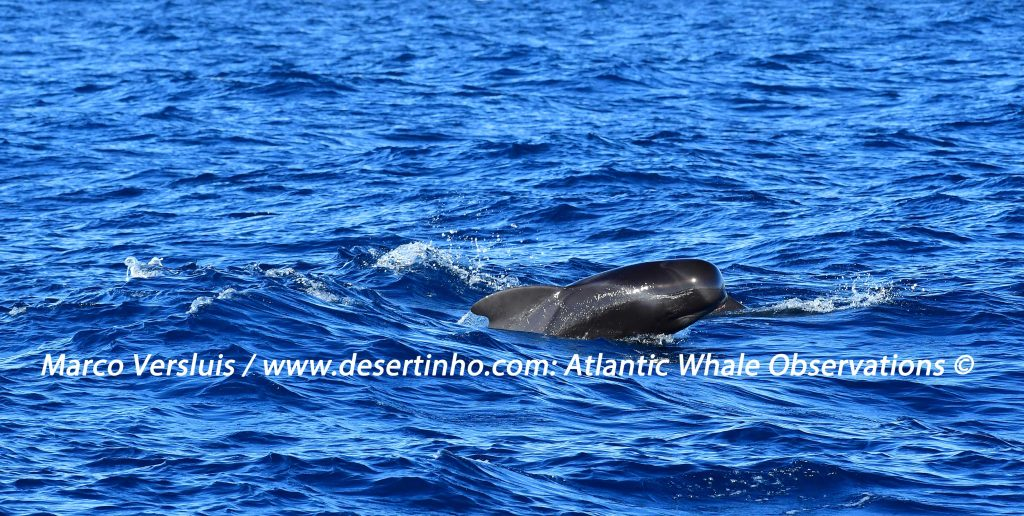 Desertinho Atlantic whale observations: Short finned Pilot whale
