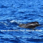 Desertinho Atlantic Whale observations: baby Pilot whale