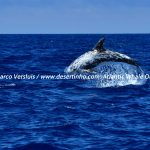 Desertinho Atlantic Whale observations: Risso's dolphin