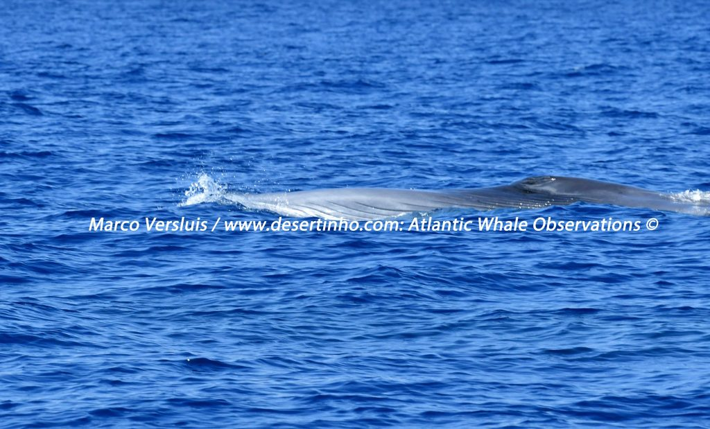 Desertinho Atlantic Whale observations: Sei Whale