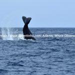 Desertinho Atlantic Whale observations: Sperm whale Lobtailing