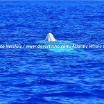 Desertinho Atlantic Whale observations: Sperm whale Spyhopping