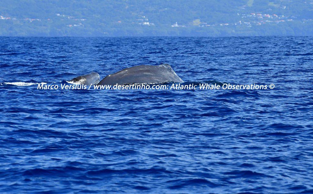 Desertinho Atlantic Whale observations:Sperm whales