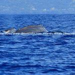 Desertinho Atlantic Whale observations: Sperm whales