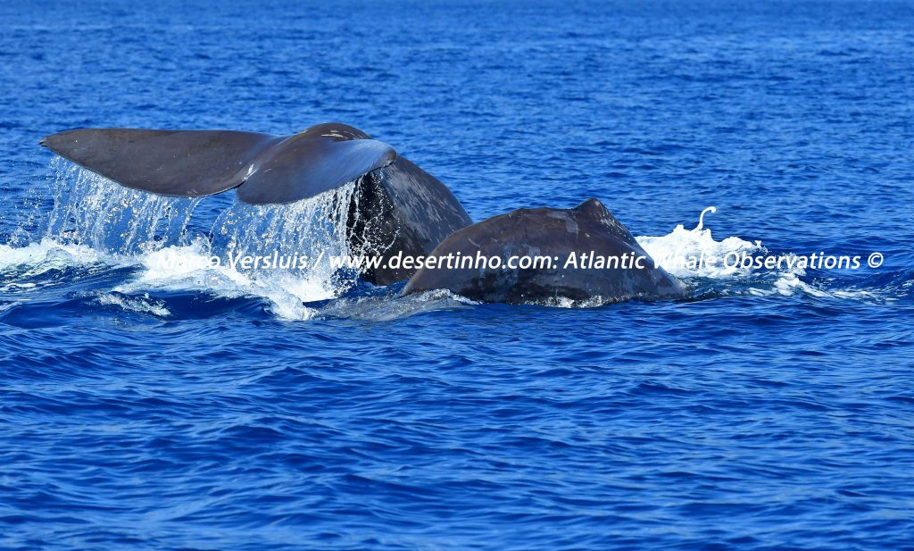 Desertinho Atlantic Whale observations: Sperm whales