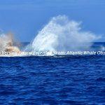 Desertinho Atlantic Whale observations: Sperm whale Pooping