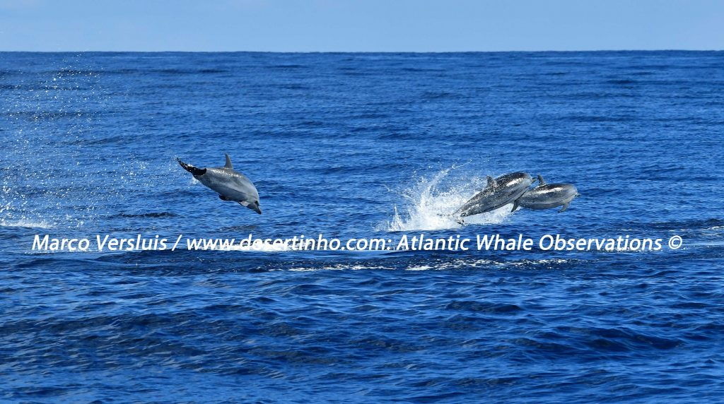 Desertinho Atlantic whale observations: Striped dolphins