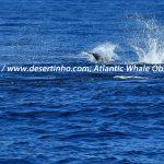 Desertinho Atlantic Whale observations: Striped dolphin