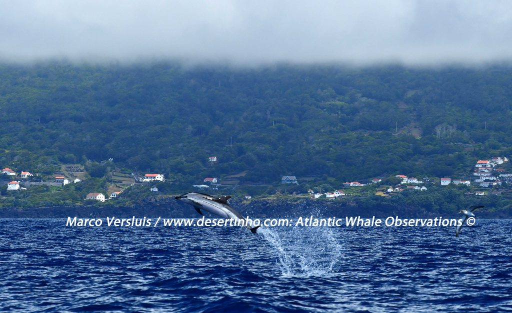 Desertinho Atlantic Whale observations: Striped dolphin