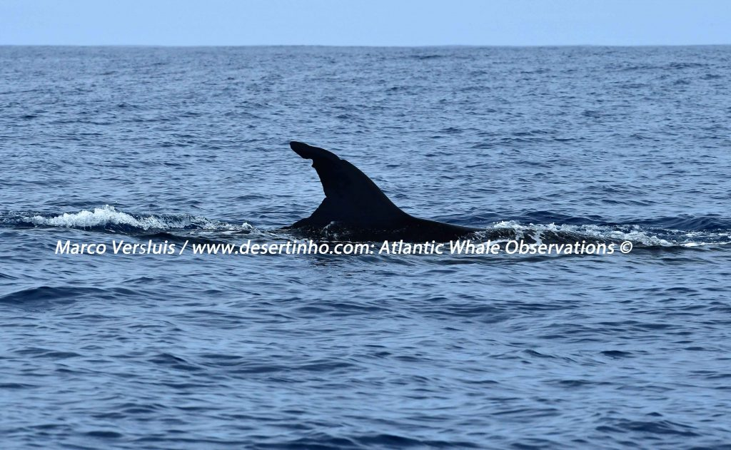Desertinho Atlantic whale observations:Sei whale Photo-ID