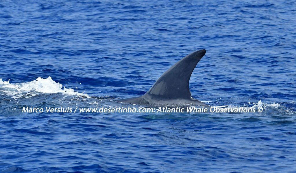 Desertinho Atlantic whale observations: Sei whale Photo-ID