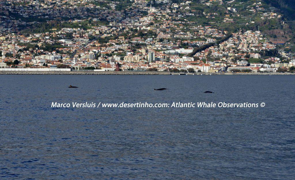 Desertinho Atlantic whale observations: Blainville's beaked whale