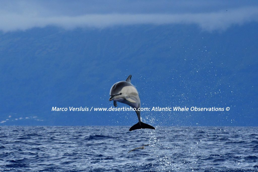 Desertinho Atlantic whale observations: Common dolphin