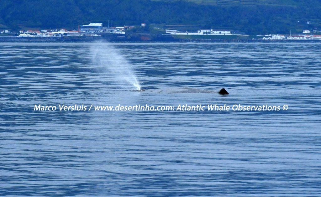 Desertinho Atlantic Whale observations: Sperm whale