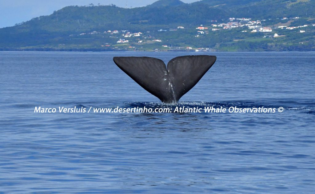 Desertinho Atlantic whale observations: Sperm whale Photo-ID