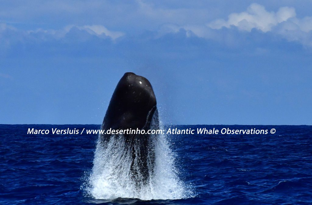 Desertinho Atlantic Whale observations: Sperm whale breaching.