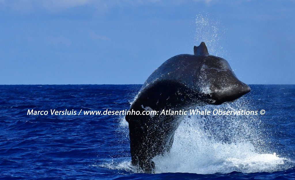 Desertinho Atlantic Whale observations: Whale Observations