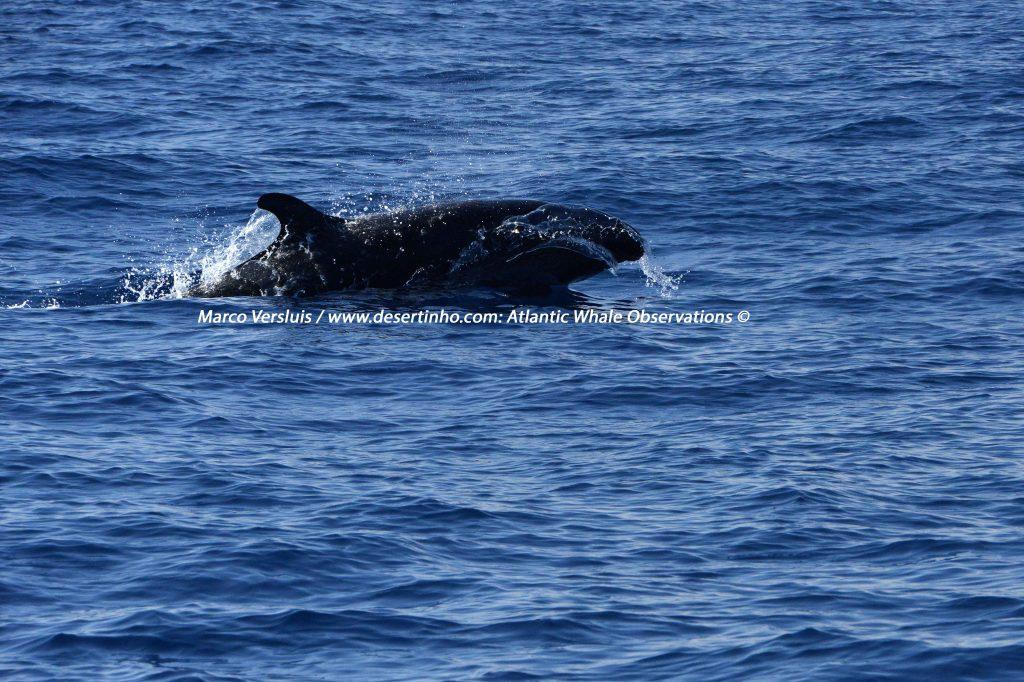 Desertinho Atlantic whale observations: False Killer whale