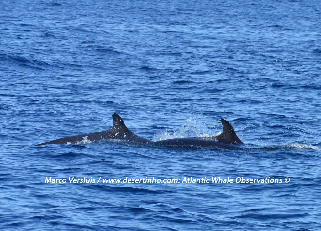 Desertinho Atlantic whale observations: False Killer whale Photo-ID
