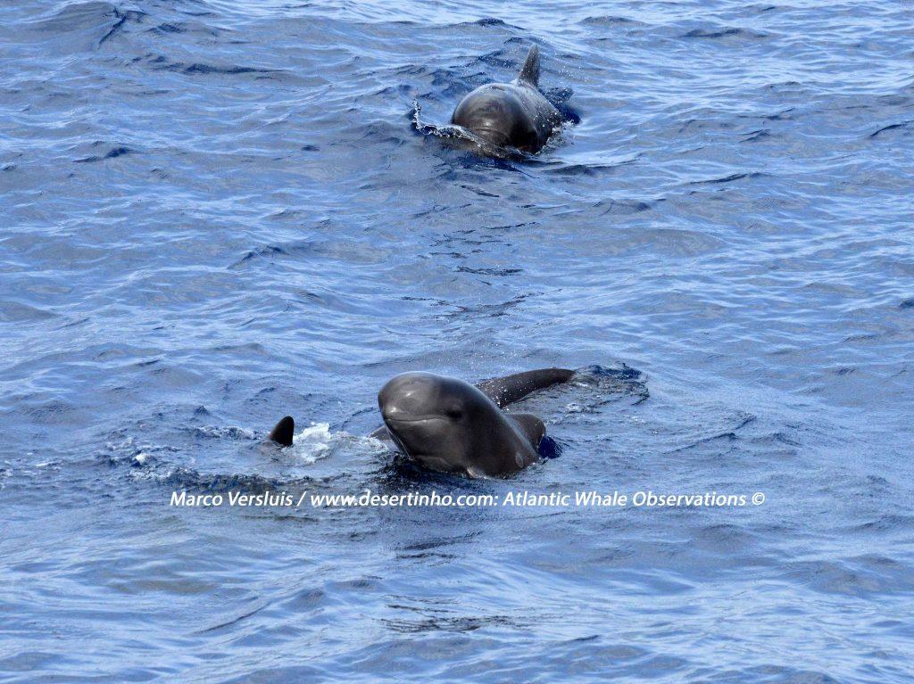 Desertinho Atlantic whale observations: Short finned Pilot whale baby