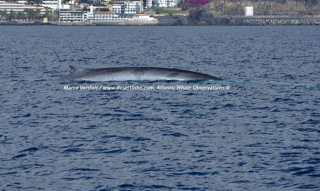 Desertinho Atlantic whale observations: Sloughing common Fin whale